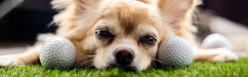 chihuahua dog brown color sleeping next to golf ball on green gr